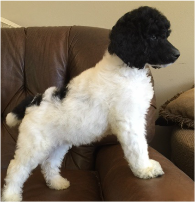 JMS STANDARD POODLES - Puppies Available
